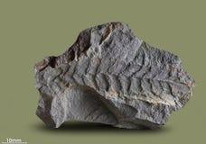 Impresiones de plantas antiguas Imagen de archivo libre de regalías