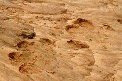 Impresiones del pie del hipopótamo en la arena Imagenes de archivo
