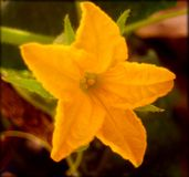 Impresiones macras de la bella arte del fondo y del papel pintado de la flor del Cucurbita imagen de archivo