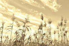 Impressão da grama de Reed Imagem de Stock Royalty Free