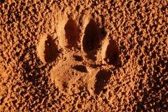 Impressão da pata do leão Fotografia de Stock Royalty Free