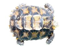 Impressed tortoise Royalty Free Stock Photography