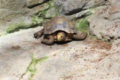 Impressed tortoise. On the rocky soil stock photos