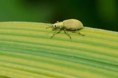 Impressifrons di Polydrusus - di Pale Green Weevil immagini stock
