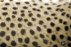 Impression de fourrure de guépard Image libre de droits