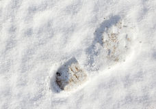 Impression de gaine dans la neige fraîche Images libres de droits