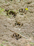 Impression de raton laveur Photos libres de droits