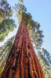 Giant Sequoia in the Sherman Grove Stock Image