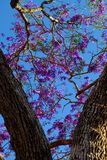 Impression violet flower on flamboyant tree Royalty Free Stock Images