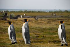 King Penguins on Salisbury plains. Impression of the wild abundance of King Penguins at Salisbury Plains, South Georgia. Salisbury plains is home to one of the royalty free stock photography