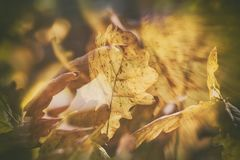 Impressionistic background with autumn brown oak leaves. Beautiful impressionistic background with autumn brown oak leaves illuminated by the warm sun Royalty Free Stock Photo