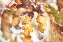 Impressionistic background with autumn brown oak leaves illumina. Beautiful impressionistic background with autumn brown oak leaves illuminated by the warm sun Stock Photography