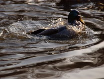 Duck in the water.. Stock Photos
