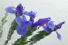 Impressionistic iris. Three iris photographed through wavy glass with water Royalty Free Stock Photography