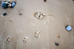 Impressions d'être humain et de crabot sur la plage Photos stock