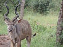 Impressive big male Kudu chews stock photography