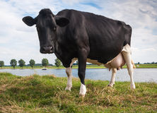 Impressive black cow looking curiously Royalty Free Stock Images