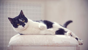 The impressive black-and-white domestic cat lies Royalty Free Stock Image