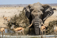Impressive Bull elephant splashing at the waterhole Stock Photography
