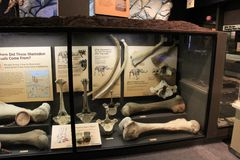 Display of large bones discovered from a life sized Mastodon, Science Museum, Rochester, New York, 2017. Impressive display of large bones discovered belonging royalty free stock photos