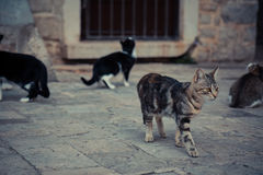 Impressive domestic cat  walking in old Europe town street in vintage style. Impressive undomestic cat  walking in old Europe town street in vintage style Royalty Free Stock Photography