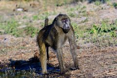 Impressive domineering stance of a Baboon. Trying to make himself as imposing as possible stock photography
