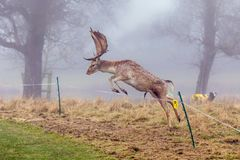 Fallow Deer Buck - Dama dama, leaping over an electric fence. royalty free stock photo