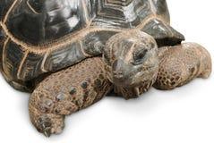 Impressive Giant tortoise on white Stock Photography