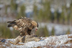 Impressive golden eagle Royalty Free Stock Photography
