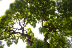 Impressive, green crown of tall, large elm tree with gnarled, twisted branches