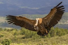 Impressive Griffon vulture, Gyps fulvus, from region Castilla-La Mancha in Spain. stock photo
