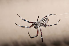 Impressive hairy spider dangling on its web Stock Image