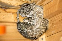 Impressive image of a nest of wasps open with eggs on a wooden wall of a terrace royalty free stock photo