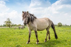 Impressive Konik horse with tangled mane and tail. Royalty Free Stock Photography