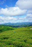 Impressive landscape, Dalat, Vietnam, tea plantation Stock Photos