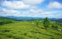 Impressive landscape, Dalat, Vietnam, tea plantation Royalty Free Stock Photo