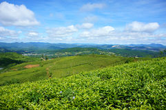 Impressive landscape, Dalat, Vietnam, tea plantation Royalty Free Stock Photos