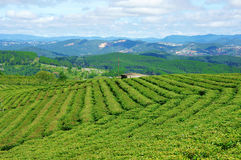 Impressive landscape, Dalat, Vietnam, tea plantation Royalty Free Stock Photography