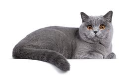 Blue female British Shorthair cat on white
