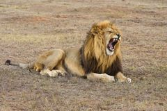 Impressive Lion Stock Images