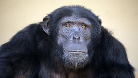 Male Chimpanzee portrait. An impressive male Chimpanzee portrait Royalty Free Stock Photography