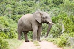 Impressive male elephant East Cape South Afrika Stock Photos