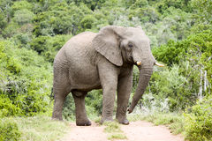 Impressive male elephant East Cape South Afrika Royalty Free Stock Image