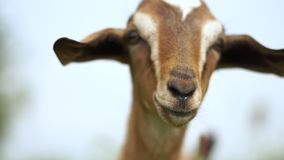 Lovely young nanny goat with nice eyes looking forward in a meadow in slo-mo stock footage