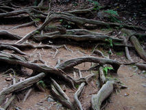 Impressive roots. Some impressive cedars roots Stock Photos