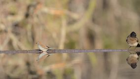 Impressive steady low angle blurred close up view on small little birds drinking water from mirror surface water puddle stock video