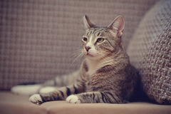 The impressive striped cat lies on a sofa. Royalty Free Stock Photo