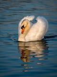 Impressive Swan Stock Image