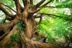 Impressive tree trunk Royalty Free Stock Photo
