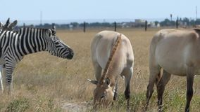 A zebra and two Dzungarian horses eat grass on a lawn in slo-mo. An impressive view of a black and white zebra and two brown Dzungarian horses eating grass on a stock footage